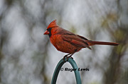 Roger Lewis Metal Prints - Red Cardinal Pose Metal Print by Roger Lewis