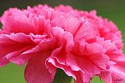 Signed Photos - Red Carnation  by Carol Lynch