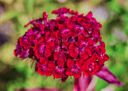 Okanogan Framed Prints - Red Carnations Framed Print by Omaste Witkowski