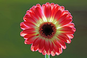Daisies Art - Red Celebration by Juergen Roth