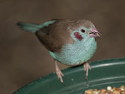 Gerald Murray Photography - Red-cheeked Cordon-bleu