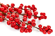 Branches Prints - Red Christmas berries Print by Elena Elisseeva