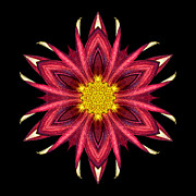 Red Chrysanthemum IIi Flower Mandala Print by David J Bookbinder