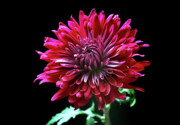 Colourful Originals - Red Chrysanthemum. by Terence Davis