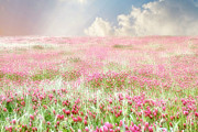 Wildflower Photos Posters - Red Clover Field - Field of Pink Wildflowers - Flower Photography - Baby Girl Nursery Art - Clouds Poster by Amy Tyler