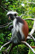 Red Colobus Monkey Print by Aidan Moran