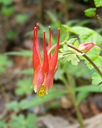 Wild Red Columbine Art - Red Columbine by Laurie Klein