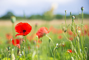 Sommer Prints - Red corn poppy on a beautiful green summer meadow Print by Matthias Hauser