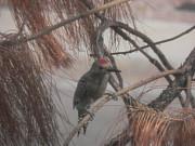Red Crested Wood Pecker In Az Print by Chrisann Ellis
