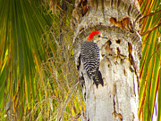 Palmer Hasty - Red Crested Woodpecker