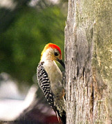 Palmer Hasty - Red Crested Woodpecker...