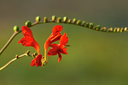 Crocosmia Framed Prints - Red Crocosmia Framed Print by Lara Ellis