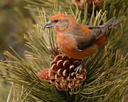 Amy Gerber - Red Crossbill