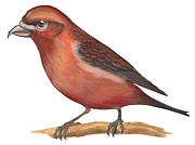 Horizontal Drawings Posters - Red crossbill Poster by Anonymous