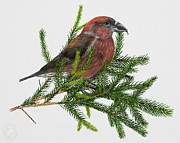Crossbill Art - Red Crossbill -Common Crossbill Loxia curvirostra -Bec-crois des sapins -piquituerto -krossnefur  by Urft Valley Art