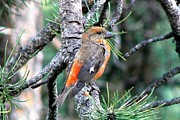 Crossbill Posters - Red Crossbill on Pine Tree Poster by Marilyn Burton