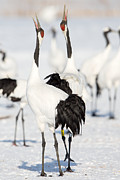 Natural Focal Point Photography - Red-Crowned Crane Calling