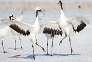 Natural Focal Point Photography - Red-Crowned Crane Dancing