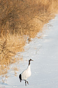 Natural Focal Point Photography - Red-Crowned Crane in...
