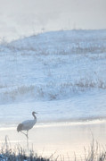 Natural Focal Point Photography - Red Crowned Crane In The...