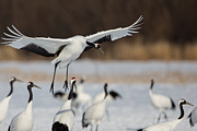 Natural Focal Point Photography - Red-crowned Crane Landing