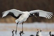 Natural Focal Point Photography - Red-Crowned Crane Lands