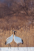 Natural Focal Point Photography - Red Crowned Crane Walk