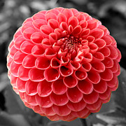 Sumit Mehndiratta - Red dahlia flower