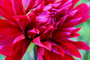 Background Prints - Red Dahlia Print by Jacqui Martin