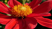 Red Dahlia Starlet Print by Christiane Schulze