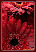 Red Daisies Print by Danielle  Parent