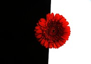 Red In Black Prints - Red Daisy on Black and White Print by Marsha Heiken