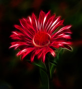 All - Red Daisy by Shane Bechler
