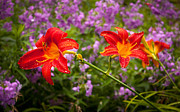 Phlox Framed Prints - Red Daylilies Framed Print by Lena Auxier