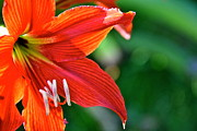 Lehua Pekelo-Stearns - Red Daylily in Hawaii