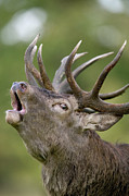 Eye Contact Posters - Red Deer Cervus Elaphus Stag Bugling Poster by Cyril Ruoso