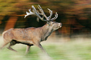Male Elk Posters - Red Deer Cervus Elaphus Stag Running Poster by Cyril Ruoso