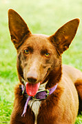 Kelpie Photo Posters - Red Dog Poster by Christopher Edmunds