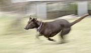 Kelpie Prints - Red Dog Running Print by Christopher Edmunds