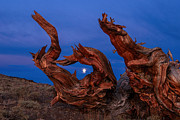 Oldest Living Tree Posters - Red Dragon - Night view of the Ancient Bristlecone Pine Forest with the rising moon. Poster by Jamie Pham