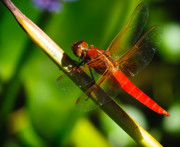 Nikon Metal Prints - Red Dragonfly Metal Print by Charles Dobbs
