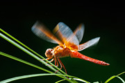 Dung Ma - Red Dragonfly