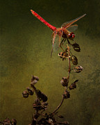 Belinda Prints - Red Dragonfly on a Dead Plant Print by Belinda Greb