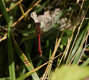 Dragon Fly Posters - Red Dragonflyes Poster by Leif Sohlman