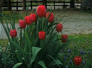 Red And Green Photo Posters - Red Dynasty Red Tulips Poster by Kip DeVore