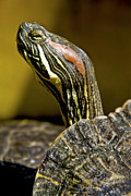Yellow Slider Posters - Red Ear Slider Poster by Guillermo Magana