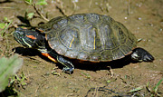 Wildlife - Red Ear Slider by Todd Hostetter