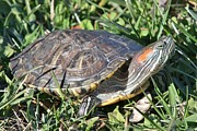 Wendy  Beatty - Red-Ear Slider Turtle