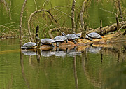 Red Eared Slider Turtles 2 Print by Sharon  Talson
