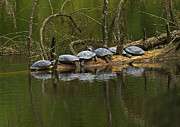 Eared Prints - Red-eared Slider Turtles Print by Sharon  Talson